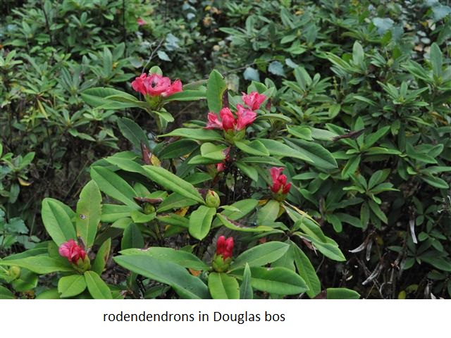 23 rodondendrons in Douglas bos.jpg